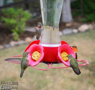 Hummingbirds War 2013 - Part I