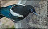 Birds, Magpie, Robin, Swallow,