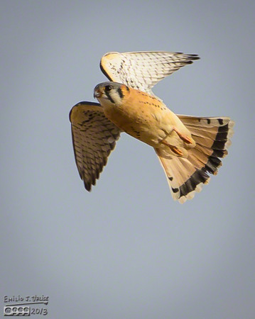 Kestrel and Red-tailed Hawk