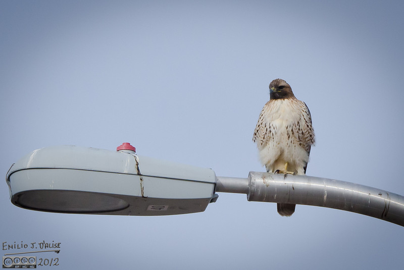 January has turned out to be a good month for getting hawk pictures.