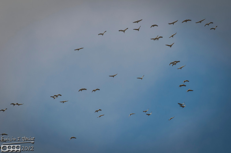 Over the course of a number of weeks I had observed flocks of both Canadian Geese and Sandhill Cranes flying.