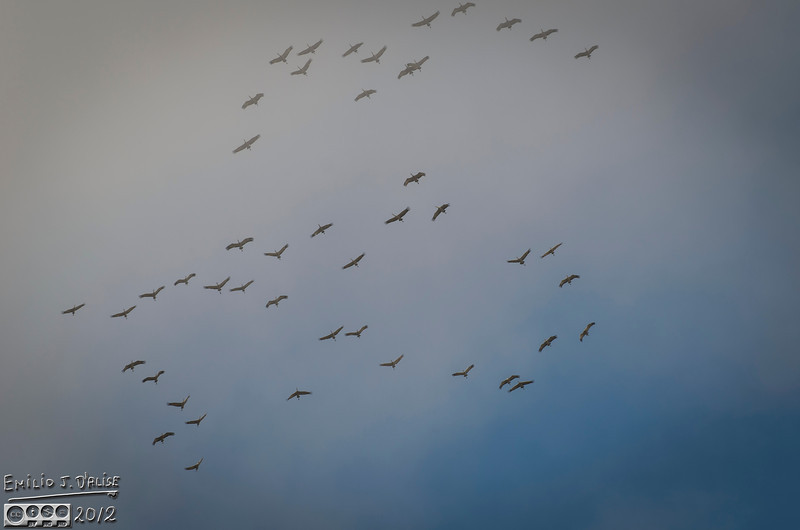 These guys flew right over my house.  I had seen them before, but I had never heard their honking before.