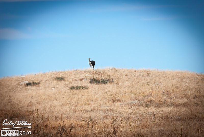 On the way home, on County Line Rd., I saw a lone figure atop one of the surrounding hills.