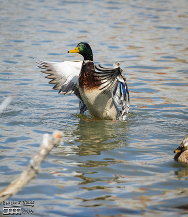 Mallard Ducks - March 2014