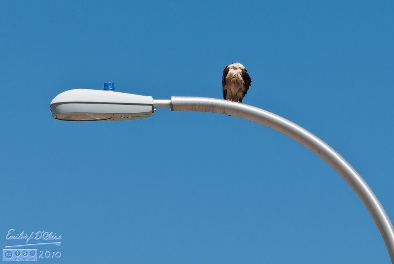 The Headless Hawk of Powers.<br /> <br /> . . . freaky!!!