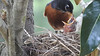 American Robin Nest and chicks