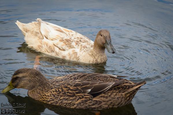 October Ducks - 2012