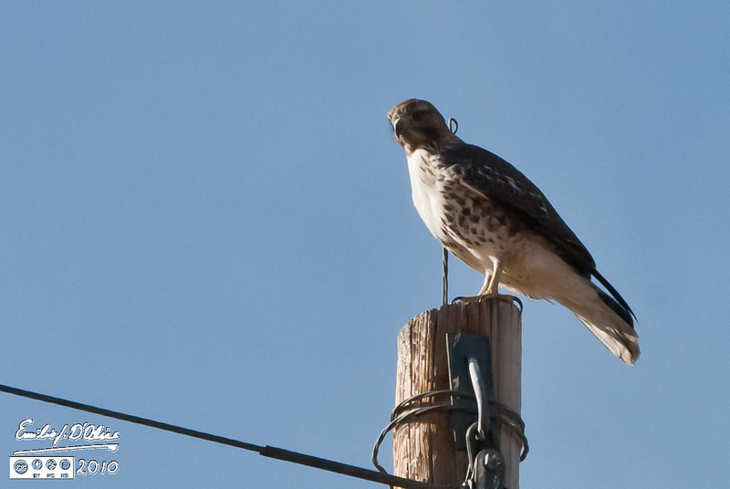 The first of two Norther Harrier hawks I photographed in the last few months.