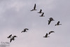 Boring, but here are a few shots of some Canadian Geese in flight.