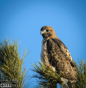 Red-Tailed Hawk - Feb-2013