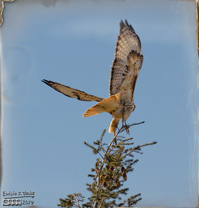 Red-tailed Hawk January 2014