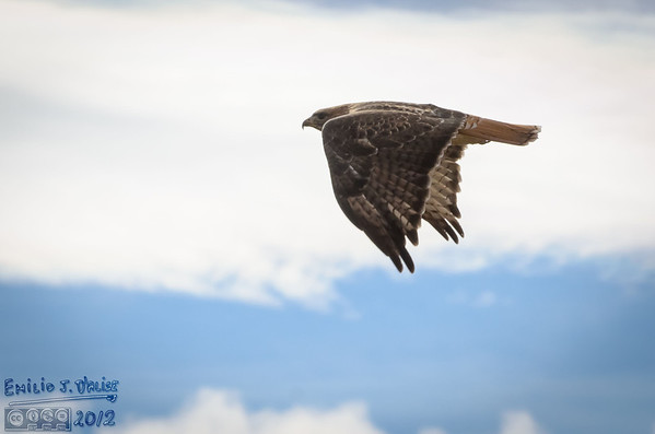 Red-tailed Hawks - October 19, 2012