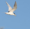 This is a Caspian Tern (if I'm reading the markings correctly).  These hunt, diving for their food when they spot a fish.