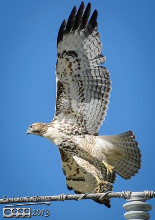 September 2013 Hawks Aplenty