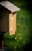 What you see here is one of what should be several Tree Swallows fledglings in the cedar Blue Bird box I put up in my yard.