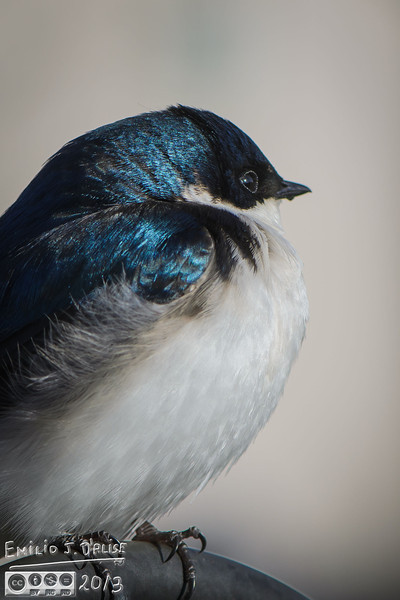 Swallows, tree swallows