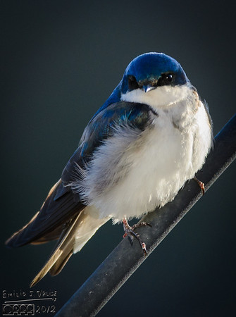 The 2013 Tree Swallows Gallery