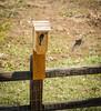 Western Bluebirds,
