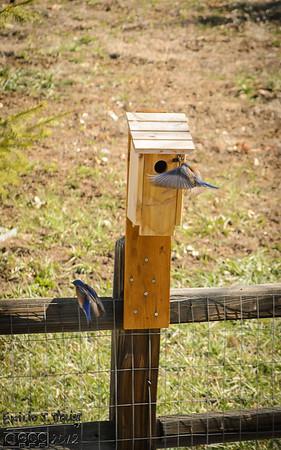 The 2013 Western Bluebirds Gallery