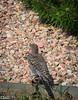 Flickers were also dropping by my yard . . .