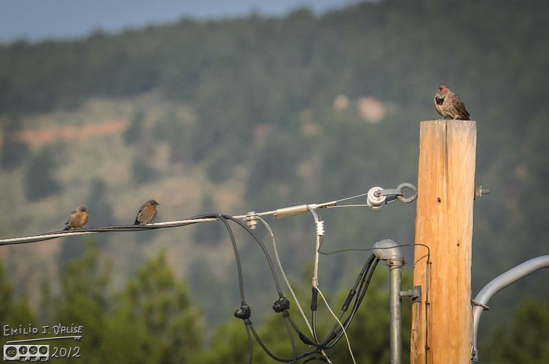 Here are a couple of Bluebirds (male and female), and a Northern Flicker.