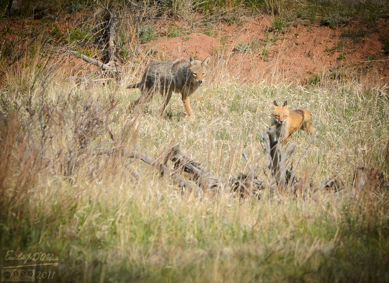 . . . and got her to move back to a respectable distance.  <br /> <br /> Even so, it looked like the Coyote's response was halfhearted at best.