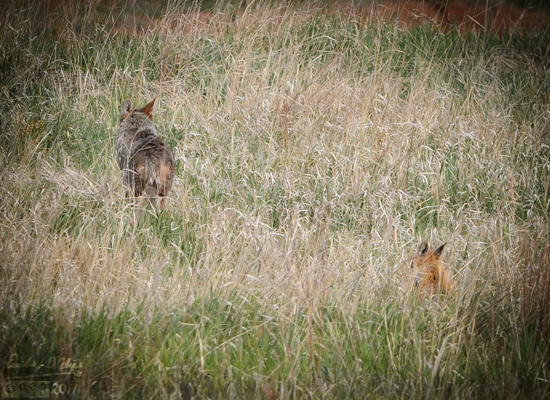 "The amazing thing was how close it got.  <br /> <br /> We think the Coyote might have been hurt.  It was not ""acting right""."