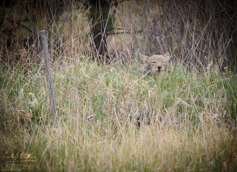 It took me a few minutes to spot the Coyote, and then only because it moved its head.