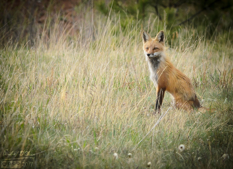 These next few shots are just because the Fox posed for me as it sat guard.