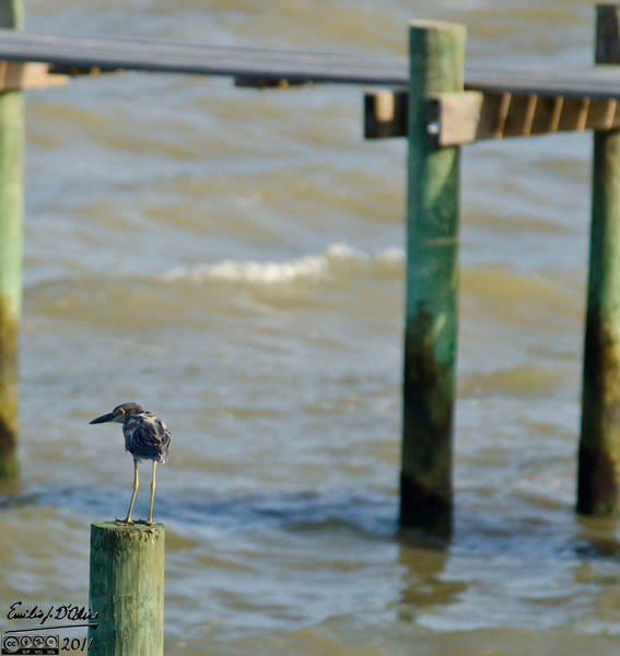I think all of the birds in this Gallery are Yellow Crested Night Herons in various stages of maturity