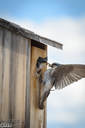 The Tree Swallows - 2012 Edition