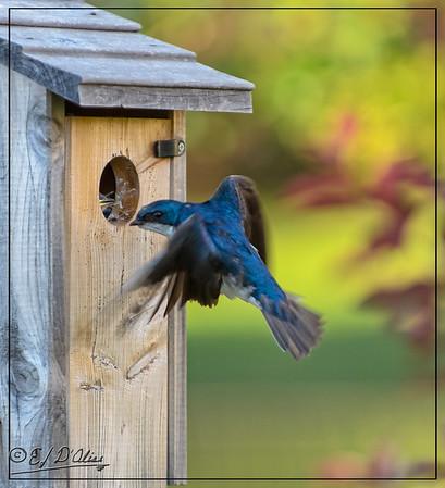 Tree Swallows Feeding Chicks