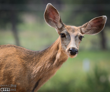 Woodland Park Deer - August 2012