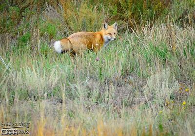 Woodland Park Fox and Deer 2012