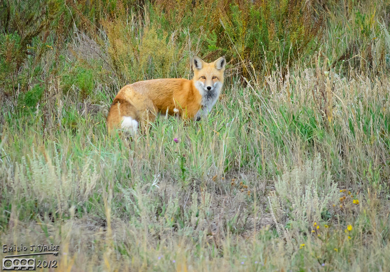 Or maybe it was this one.  <br /> <br /> It is a nice-looking fox.