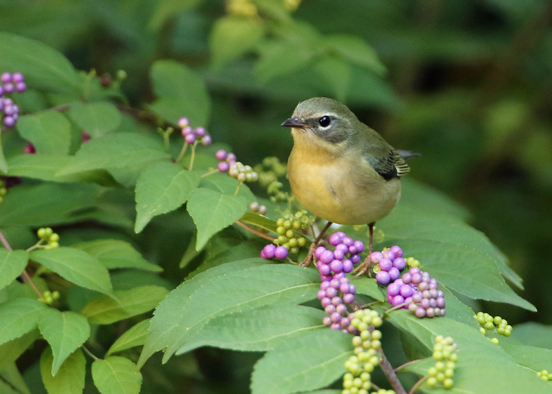 Black-throated Blue Warbler in Beautyberry