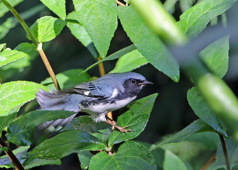 Black-throated Blue Warbler in Spicebush