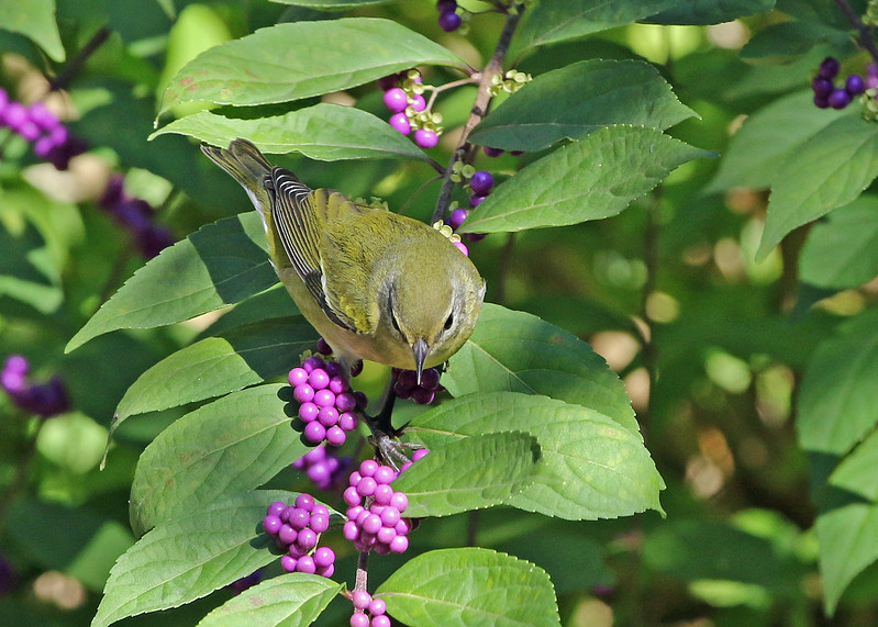 Tennessee Warbler in Beautyberry
