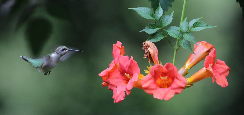 Ruby-throated Hummingbird on Trumpet Vine