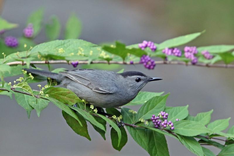 Gray Catbird on Beautyberry