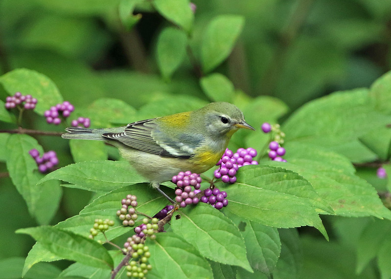 Northern Parula on Beautyberry