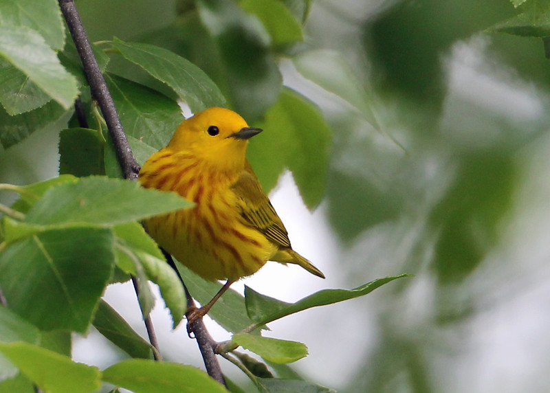 Yellow Warbler in River Birch