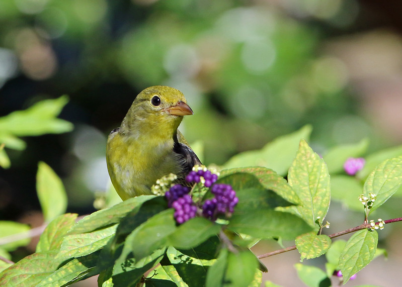 Scarlet Tanager on Beautyberry