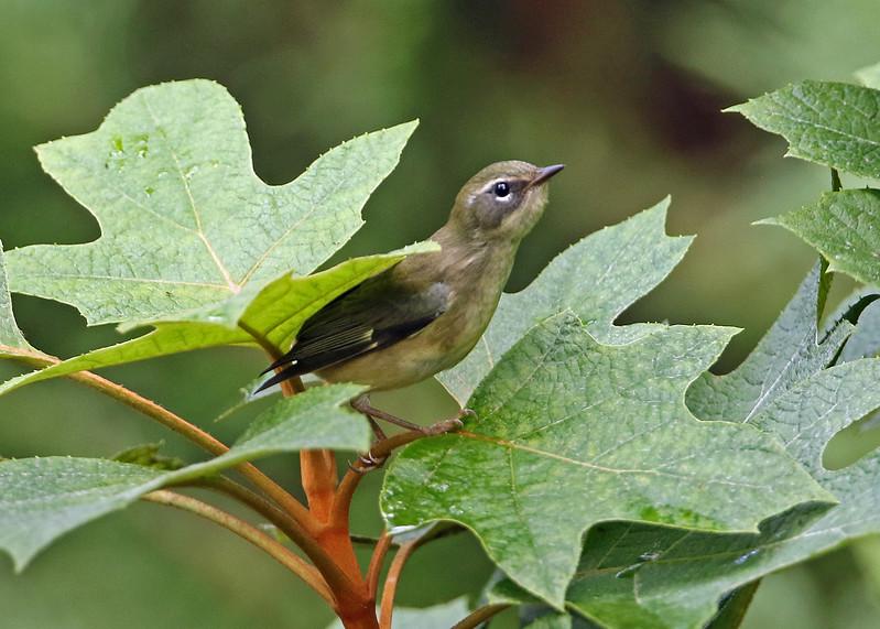 Black-throated Blue Warbler in Oakleaf Hydrangea