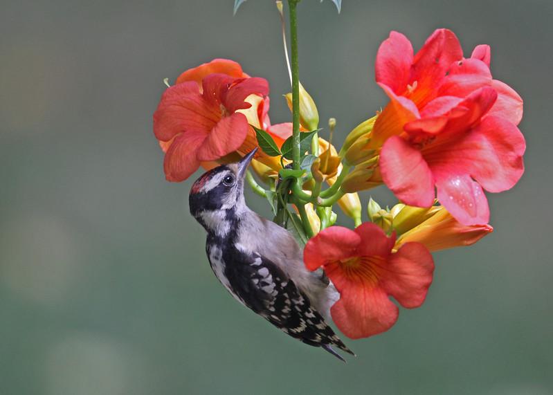 Downy Woodpecker on Trumpet Vine