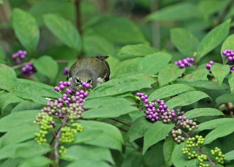 Cape May Warbler in Oakleaf Hydrangea