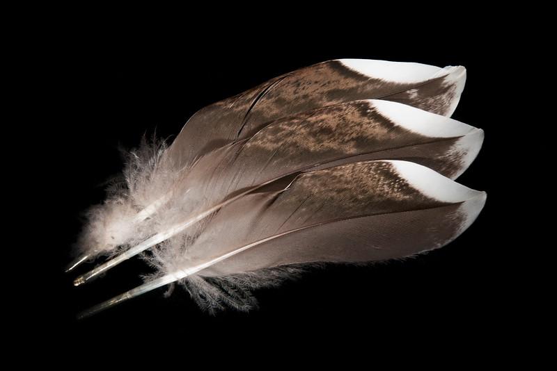 Gamebird feathers