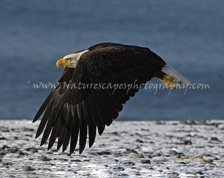 """Low Pass"" Bald Eagle - available up to 16x20"