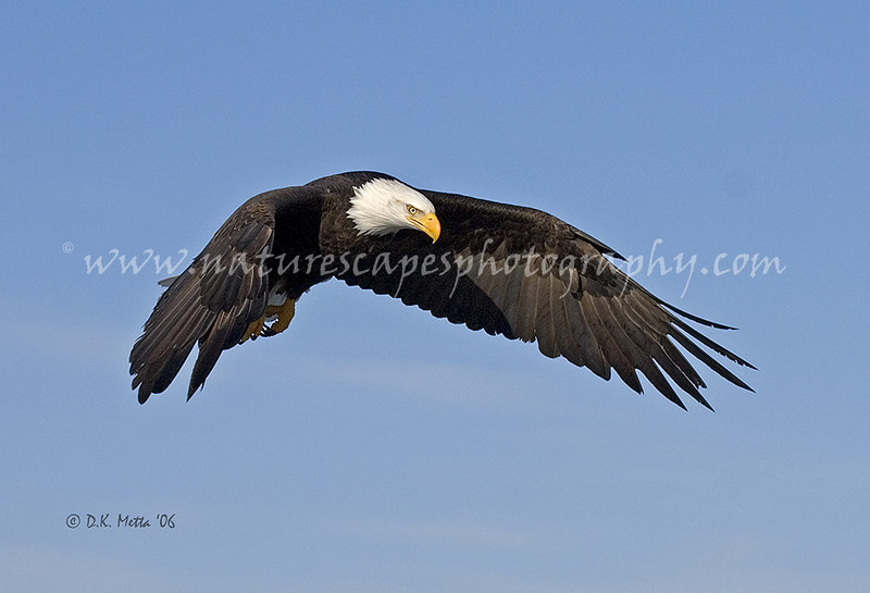Bald Eagle in flight - available up to 13x19