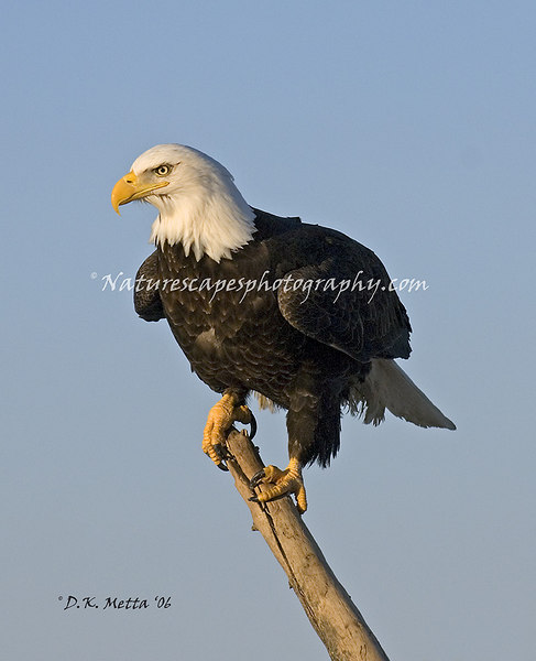 The Perch - Alaskan Bald Eagle